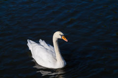 A white swan alone at the lake in fall Royalty Free Stock Photography