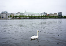 White swan on Alster lake, Hamburg Royalty Free Stock Image