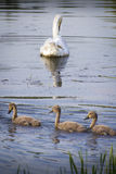 White swan with babies. White swan on the lake with three babies Royalty Free Stock Image