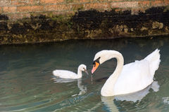 White Swan with a baby royalty free stock photos