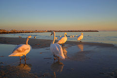 White swans basks at sunset beach Royalty Free Stock Photos
