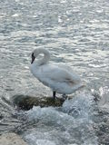 White swan on the beach Royalty Free Stock Photography