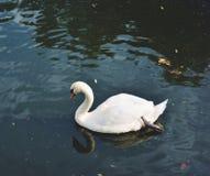 White swan. Beautiful white swan Stock Images