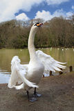 White Swan, wings spread. A beautiful, white swan spreads it large wings at Tehidy Country Park, Cornwall Stock Photography