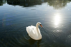 White swan. Beautiful swan swimming on water Royalty Free Stock Photography