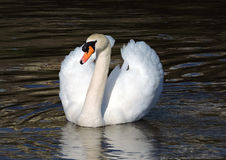 White swan. Stock Images