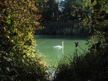 White Swan. The white swan behind the colorful bush floats on the surface of a blue lake Stock Photography