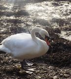 White swan at Berwick upon tweed, Northumberland UK Royalty Free Stock Images