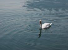 White Swan bird animal Stock Image