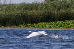 The white swan. Bird runs up and flies up into the air. Delta. Royalty Free Stock Photos