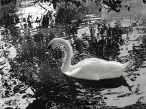 White swan on black and white background stock photography
