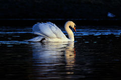 White swan in black background Stock Photography
