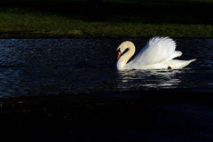 White swan in black background Royalty Free Stock Photo
