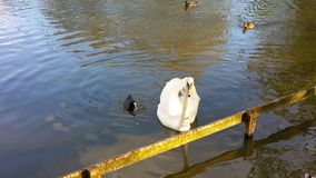 White Swan and black duck swimming. At the park Stock Photography