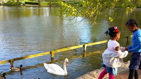 White Swan and black duck swimming. At the park Royalty Free Stock Photos