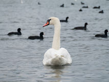 A white swan and the black ducks. A white swan in water and black ducks at background Stock Images