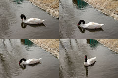 White swan with black feathers on the neck Royalty Free Stock Images