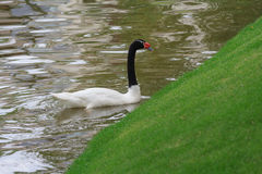 White swan with a black neck floats in a pond. Birds Royalty Free Stock Image