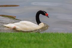 White swan with a black neck floats in a pond. Birds Royalty Free Stock Photo
