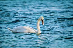 White Swan on Black Sea Royalty Free Stock Images