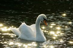 White swan on black water stock photography