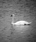 White swan black and white Stock Photos