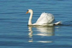 White swan on blue lake Stock Images