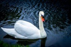 White swan on blue lake Stock Images