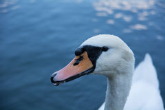 White swan on a blue lake. Swan head, close up, on a blue lake Royalty Free Stock Image