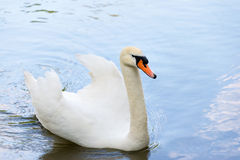 White swan on blue lake water in sunny day, swans on pond. Stock Images