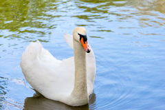 White swan on blue lake water in sunny day, swans on pond. Royalty Free Stock Photo