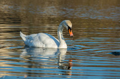 White swan on  blue pond Royalty Free Stock Photography