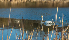 White swan on  blue pond Royalty Free Stock Photo