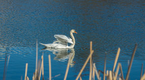 White swan on blue pond Stock Image