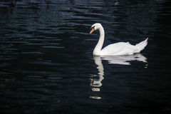 White swan in blue pond. Royalty Free Stock Photography