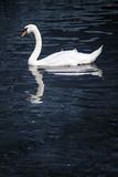 White swan in blue pond. Royalty Free Stock Images