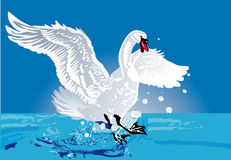 White swan in blue water Stock Photos