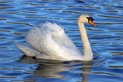 White Swan on Blue Water Royalty Free Stock Images