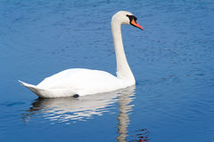 White Swan on blue water of the lake. Royalty Free Stock Photography