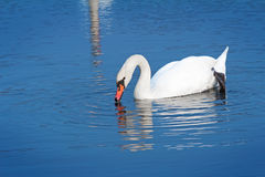 White Swan on blue water of the lake. Stock Photos