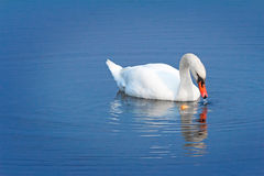 White Swan on blue water of the lake. Royalty Free Stock Images