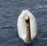 White swan in blue water Stock Image