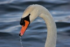 White Swan on Body on Water Stock Images