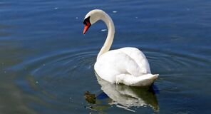 White Swan in the Body of Water Stock Images