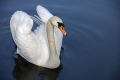 White Swan on Body of Water during Daytime Royalty Free Stock Photos