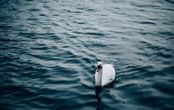 White Swan on Body of Water Floating during Daytime Stock Image