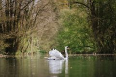 White Swan On A British Lake Royalty Free Stock Image