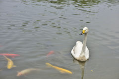 The white swan and brocade carp in the lake Royalty Free Stock Photos
