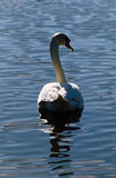 White Swan on Calm Lake. A white swan slightly backlit swimming on a calm lake Royalty Free Stock Images