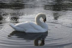 A white swan in an icy pond. A white swan on the Cemetery Lake on Southampton Common, Hampshire, UK on an icy day stock photo
